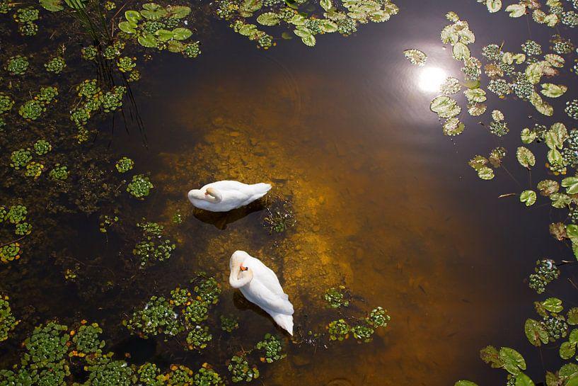 Zwei Schwäne mit Spiegelung der Sonne im flachen Wasser sur Jan Brons