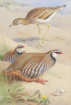 Ein Steinbrachvogel und ein französisches Rebhuhnpaar, Archibald Thorburn
