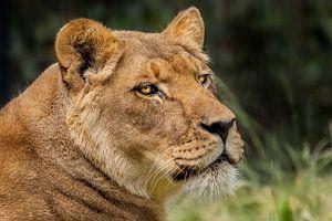 Leeuwin alles in gaten houdend in de natuur. van Marcel Kieffer