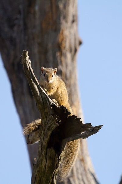 Eekhoorn in boom van Jan van Kemenade