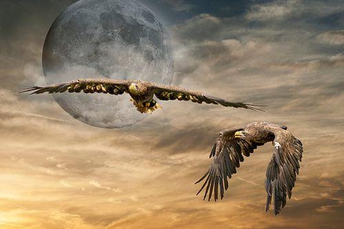 Twee  Europese Zeearenden vliegen tegen een dramatische oranje zwarte lucht met volle maan
