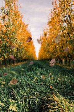 Peren boomgaard in de herfst von Prachtig  Diepenbeek