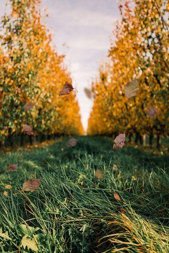 Peren boomgaard in de herfst van