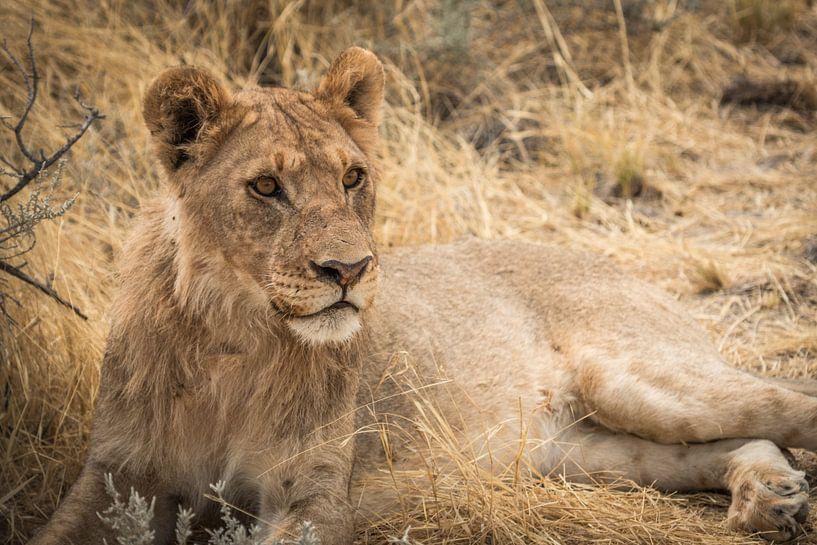 Leeuw - Namibie van Eefke Smets