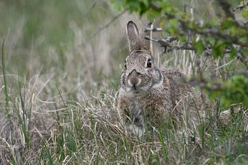 Kaninchen, Wildkaninchen ( Oryctolagus cuniculus ), versteckt sich im Gras unter einem Busch, wildli von wunderbare Erde