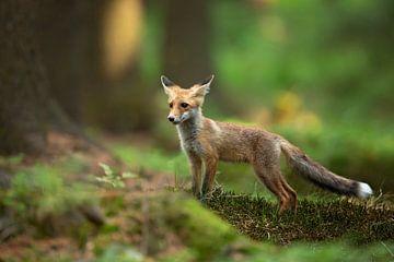 Red Fox, Milan Zygmunt van 1x