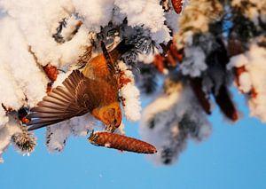 Mannetje Kruisbek met Sparrenkegel in de winter van Beschermingswerk voor aan uw muur