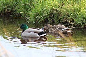 Two wild ducks