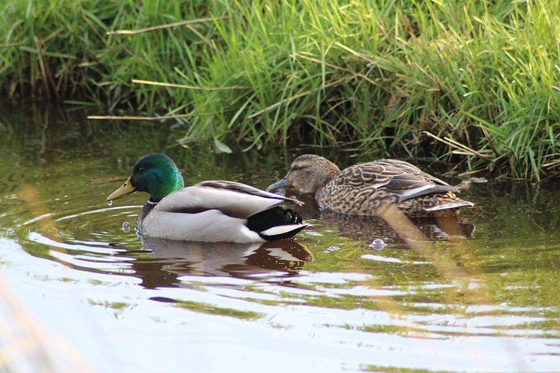Two wild ducks von michael meijer
