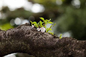 Jonge kersenbloesem van Schram Fotografie
