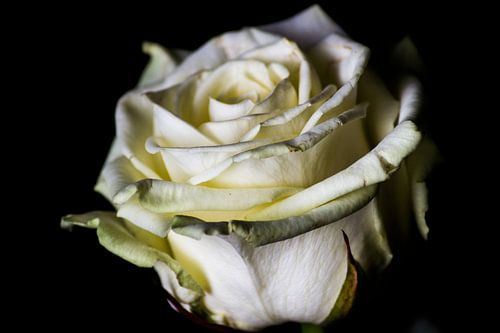 Witte roos van