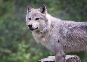 Wolf in Yoho NP, Canada van
