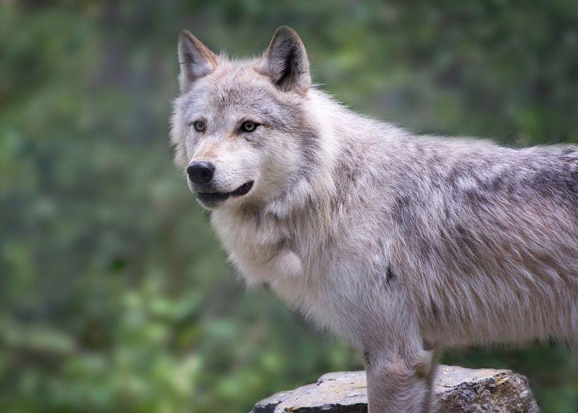 Wolf in Yoho NP, Canada van Christa Thieme-Krus