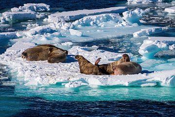 Eis-Scotch mit Walrossen von Merijn Loch