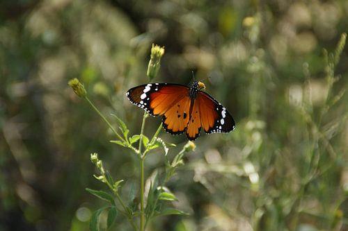 Een oranje vlinder in een graslandschap