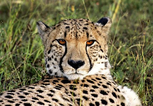 Cheetah in Namibië van