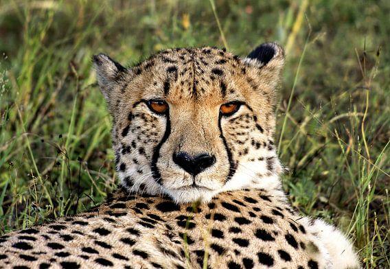 Cheetah in Namibië