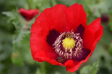 Rode klaproos met bijen van Ulrike Leone