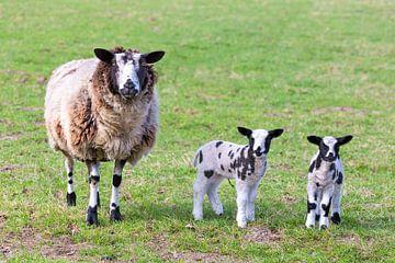 Bonte pasgeboren lammetjes bij schaap van Ben Schonewille