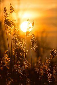 Natuur   Ondergaande zon achter riethalmen van