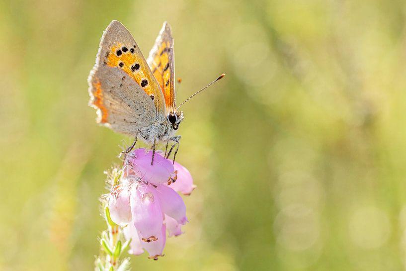 Vuurvlinder op roze dopheide van Roosmarijn Bruijns