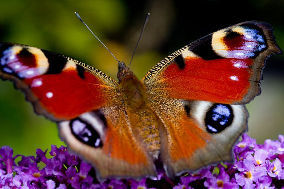 Dagpauwoogvlinder
