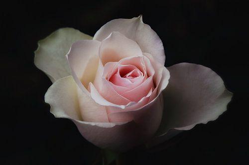 A rose it is