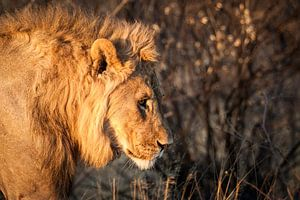 Leeuw in zonsopgang in Namibië