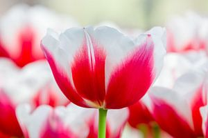 Rood met witte tulp in veld