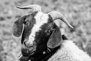 Schaf mit Hundeblick von kuh-bilder.de