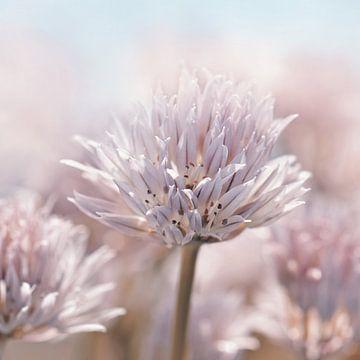 Bieslook bloesem , Allium van Violetta Honkisz
