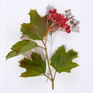 Botanica VI Viburnum van