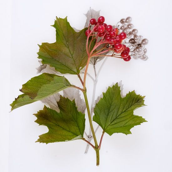 Botanica VI Viburnum van Niek van Schie