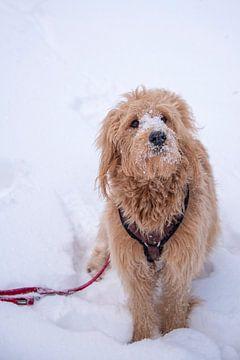 Hund sitzt im Schnee, Mini Goldendoodle von Stephan Schulz