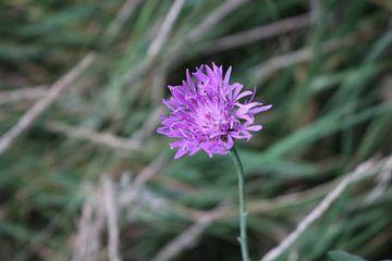 Violette Blume von Rosalie Broerze