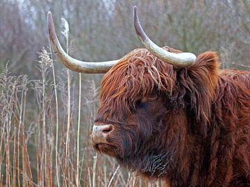 Schotse Hooglander van Edwin Butter
