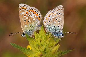 Icarusblauwtje paar