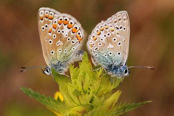 Icarusblauwtje paar van Margreet Frowijn