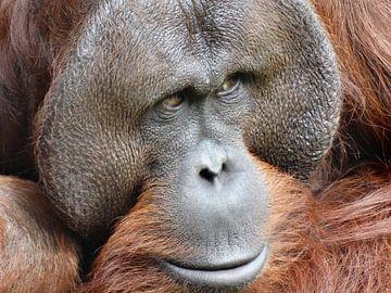 Orang-oetang van Brigitte Koster