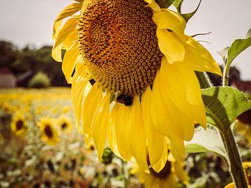 Sonnenblume mit Biene von Art By Dominic