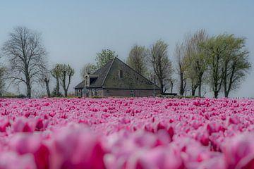 Boerderij tussen de tulpenvelden van Moetwil en van Dijk - Fotografie