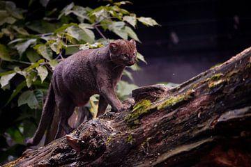 Chat jaguarundi d'Amérique du Sud sur Michael Semenov