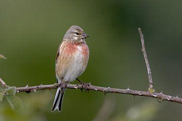 Vogel auf Ast. von Robert Jan Smit