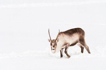 Rentiere weiden im Schnee in Nordnorwegen von Sjoerd van der Wal