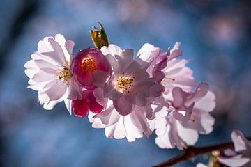 Cherry Blossom sur Kurt Krause