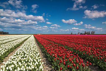Bloemenveld met tulpen van Ilya Korzelius