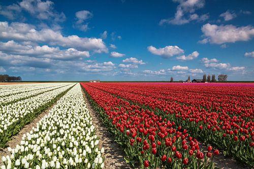 Bloemenveld met tulpen van