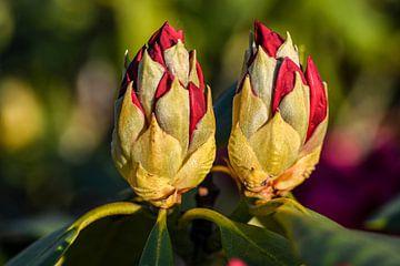 Rhododendron-Knospen von John Linders