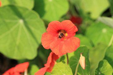 Hommel in oranje bloem van een nasturtium van Anna van Leeuwen