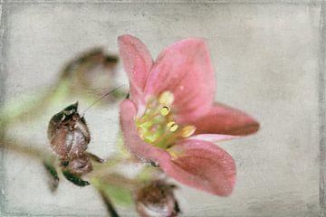 zarte Blüte von Roswitha Lorz